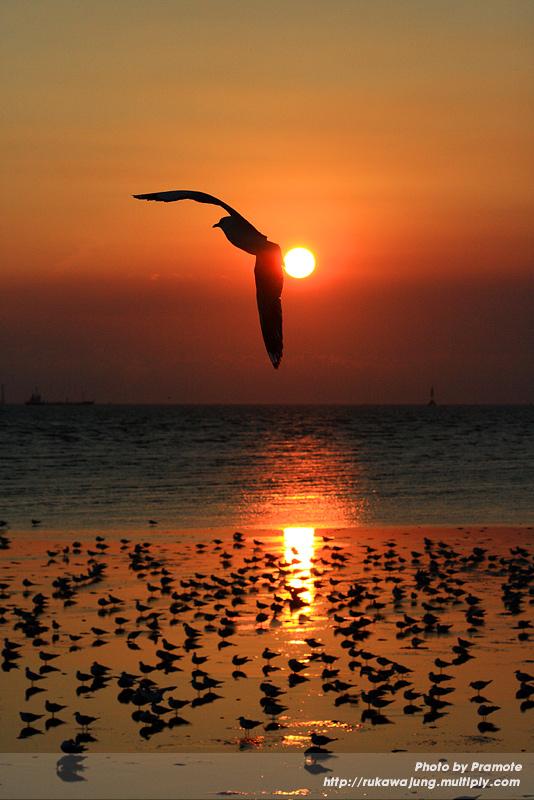 นกนางนวลตอนพระอาทิตย์ตก