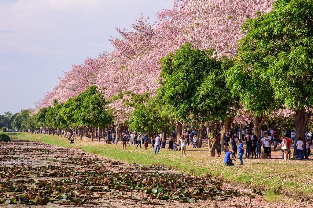 ต้นชมพูพันธุ์ทิพย์ ม.เกษตร กำแพงแสน